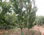 4-10公分大樱桃树