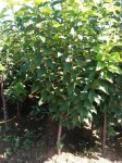 1-3公分大樱桃苗木