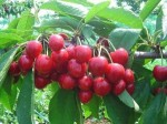 大樱桃结果树