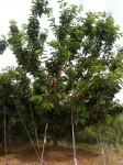 3-10公分美早小大树