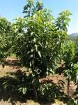 4-5公分大樱桃苗木